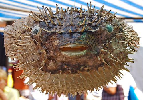 Tetraodontidae Fugu